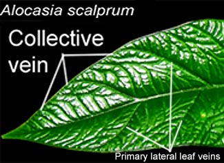 Alocasia scalprum collective vein and  primary lateral leaf veins, Photo Copyright 2009, Steve Lucas, www.ExoticRainforest.com