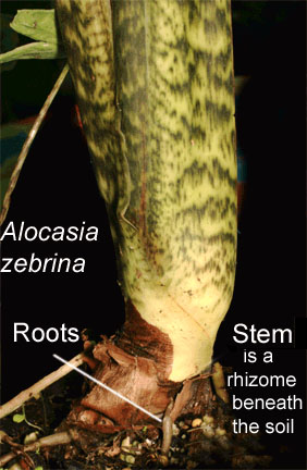 Alocasia zebrina stem, PHOTO COPYRIGHT 2008, Steve Lucas, www.ExoticRainforest.com