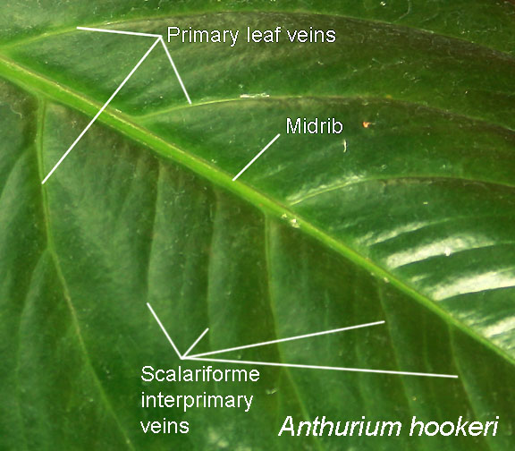 Anthurium hookeri scalariforme interprimary leaf veins, Photo Copyright 2009, Steve Lucas, photographed at the Missouri Botanical Garden