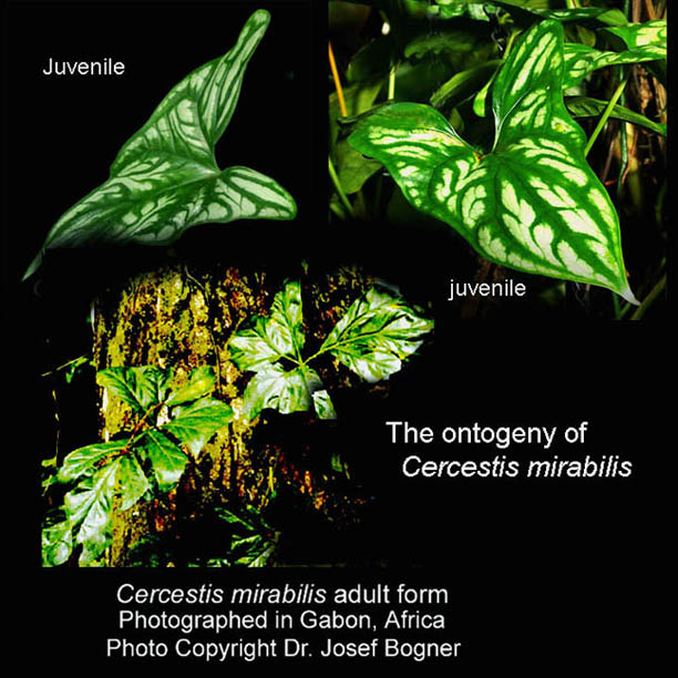 Natural variation within Aroid and other plant species ...