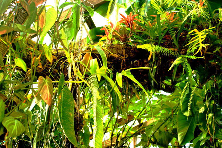 Bromeliads on epiphytic tree log, Photo Copyright 2010, Steve Lucas, www.ExoticRainforest.com