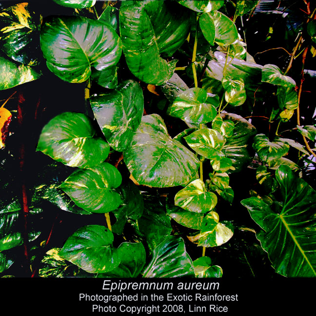 Epipremnum aureum (Pothos), Photo Copyright 2008, Linn Rice, the Exotic Rainforest atrium, www.ExoticRainforest.com