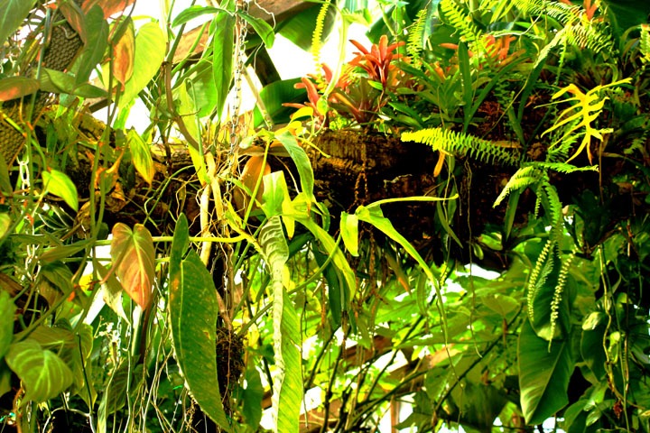 Bromeliad, aroids and ferns on the Exotic Rainforest epiphytic tree., Photo Copyright 2010, Steve Lucas www.ExoticRainforest.com