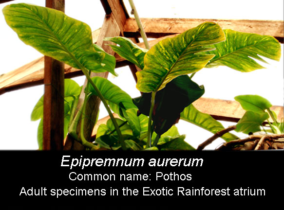 Epipremnum aureum fully adult,sold as Pothos,  Photo Copyright 2009, Steve Lucas, www.ExoticRainforest.com