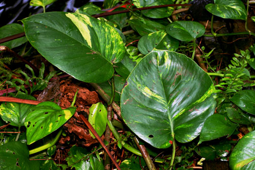 Epipremnum aureum, commonly known and sold as Pothos, Photo Copyright 2009. 2010 Steve Lucas, www.ExoticRainforest.com