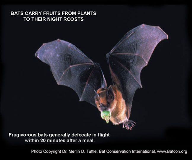 Frugivorous bat, Photo Copyright Dr. Merlin D Tuttle, Bat Conservation International, www.Batcon.org