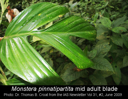 Monstera pinnatipartita Schott, mid adult, photo Copyright Dr. Thomas B. Croat
