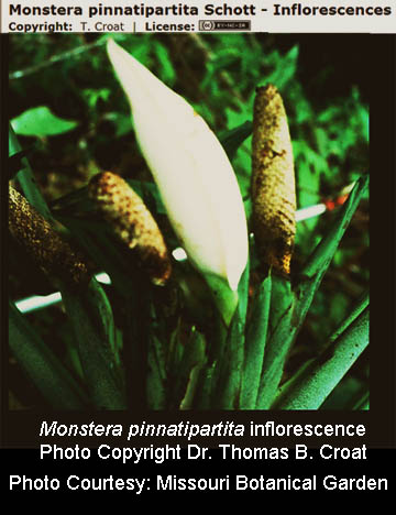 Monstera pinnatipartita inflorescence, Photo Dr. Tom Croat, courtesy Missouri Botanical Garden