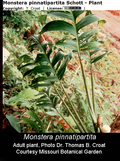 Monstera pinnatipartita Schott, Philodendron Silver Queen, Photo Dr. Thomas B. Croat