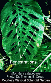Fenestrations, photo Dr. Tom Croat, Missouri Botanical Garden