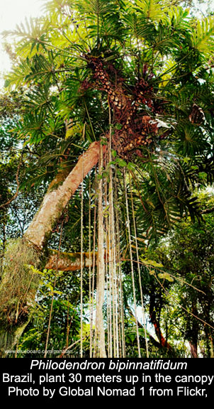 Philodendron bipinnatifidum in Brazilian canopy, Photo Copyright Global Nomad 1