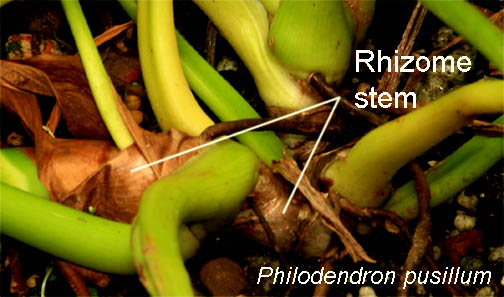 Rhizome stem, Philodendron pusillum, Photo copyright 2009 Steve Lucas, www.ExoticRainforest.com