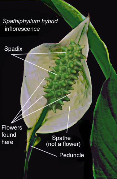 Spathiphyllum inflorescence (Peace Lily), Photo Copyright 2010 Steve Lucas, www.ExoticRainforest.com