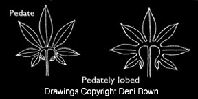 Pedate or pedately lobed leaf, Copyright Deni Bown