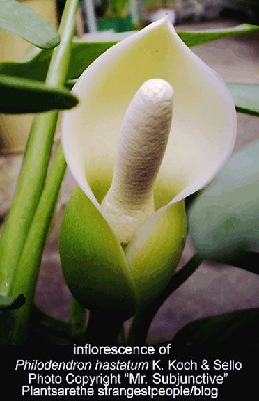 Philodendron hastatum (not Philodedndron domesticum), inflorescence, spathe, spadix, Photo Copyright Mr. Subjunctive