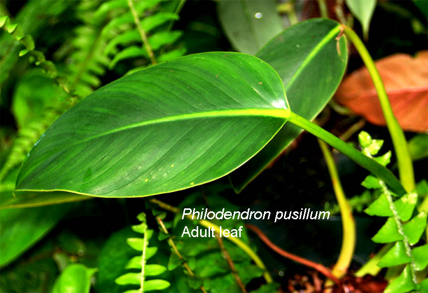 Philodendron pusillum, Photo Copyright 2010, Steve Lucas, www.ExoticRainforest.com