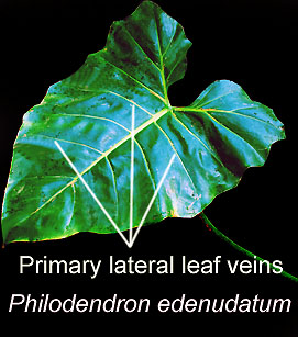 PHilodendron edenudatum, primary lateral leaf veins, Photo Copyright 2009, Steve Lucas, www.ExoticRainforest.com