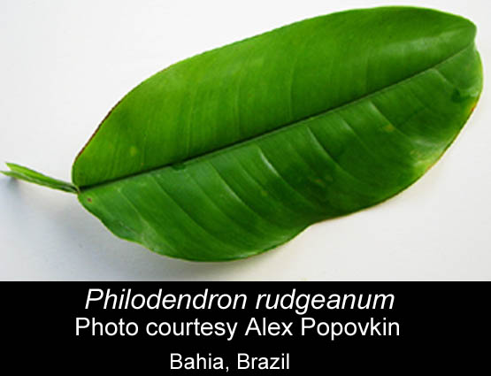 Philodendron rudgeanum, Photo Copyright Alex Popovkin, Bahia Brazil