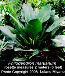 Rosette form of Philodendron martianum, Photo Copyright 2008, Leland Miyano