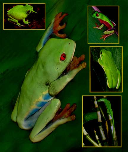 tree frog pictures. Eyed Costa Rican tree frog