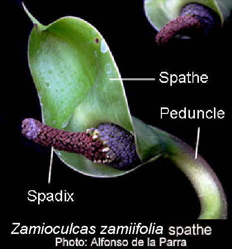 Zamioculcas zamiifolia inflorescence, spathe and spadix, Photo Copyright Alfonso de la Parra