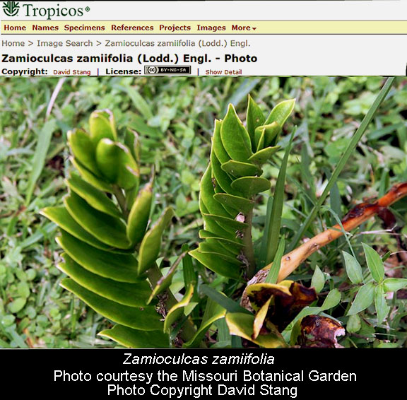Zamioculcas zamiifolia, Photo Courtesy the Missouri Botanical Garden, Copyright David Stang