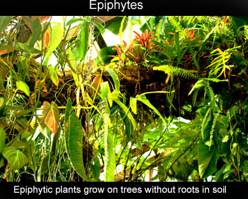 Epiphytes.  Epiphytic plants grow on trees without roots in soil, Photo Copyright 2010 Steve Lucas, www.ExoticRainforest.com