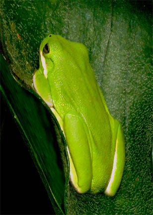 Green tree frog on Playcerium alcicorne, Photo Copyright 2007, Steve Lucas, www.ExoticRainforest.com