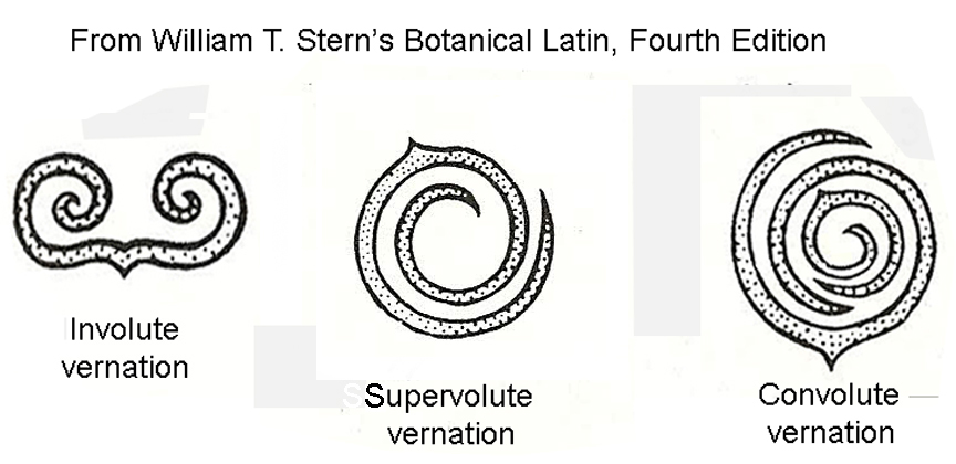 Involute, supervolute and convolute vernation in aroids