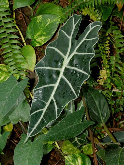 Alocasia Amazonica, Foto Copyright Steve Lucas, www.ExoticRainforest.com