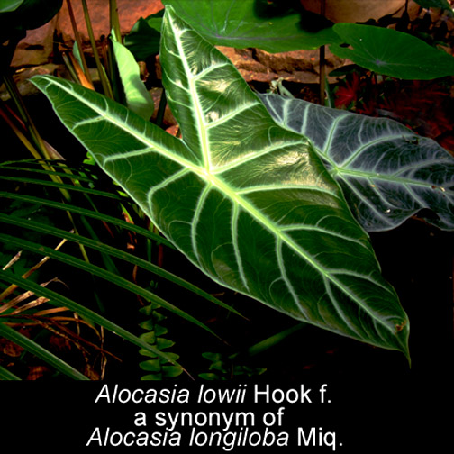 Alocasia lowii, sinonimo di Alocasia longiloba, Foto Copyright 2007, Steve Lucas, www.ExoticRainforest.com