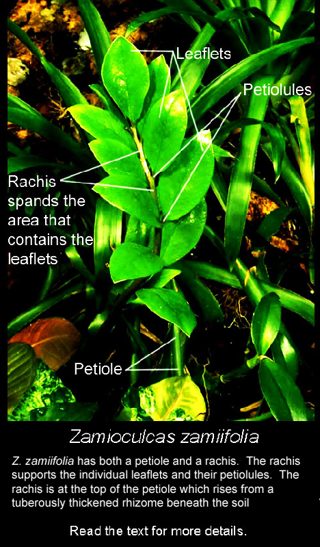 Zamioculcas Zamiifolia Showing The Rachis Petiole Leaflets And Petiolules Rous Rhizome Is