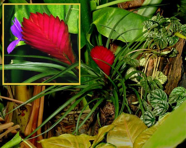Tillandsia Cyanea Exotic Rainforest Rare Tropical Plants